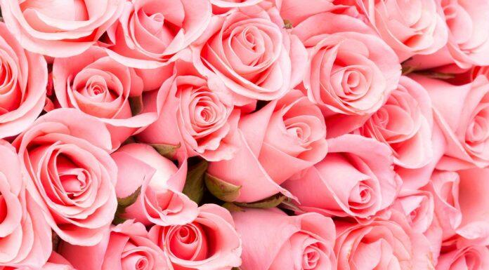 frases de rosas