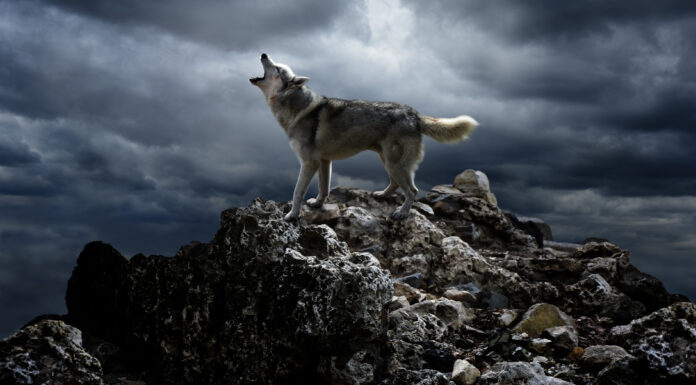 30 Frases de Lobos | Un animal repleto de misticismo